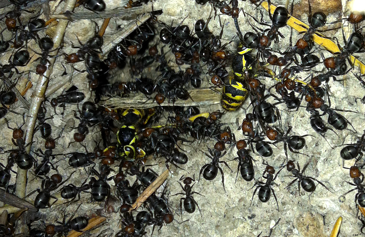ants and Yellow Jackets