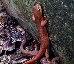 Newts - one newt climbing on another
