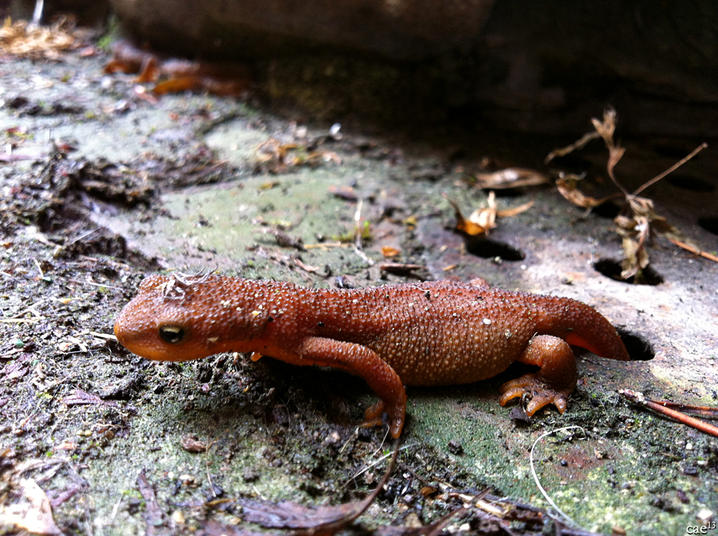 Newts - Taricha granulosa with tail in grate hole